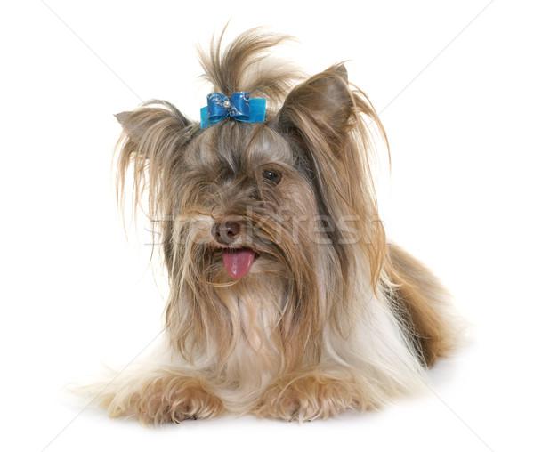 щенков Йоркшир терьер белый собака студию Сток-фото © cynoclub