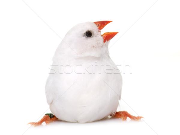 白 シマウマ スタジオ 鳥 動物 ストックフォト © cynoclub