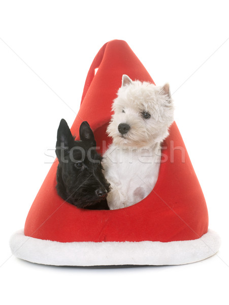 two puppies terrier in kennel Stock photo © cynoclub