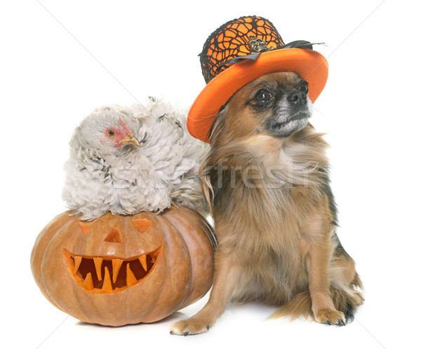 halloween pumpkin, chicken and chihuahua  Stock photo © cynoclub