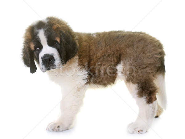 puppy saint bernard Stock photo © cynoclub