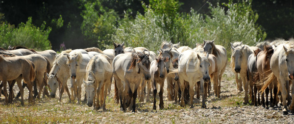 herd of Camargue horses Stock photo © cynoclub
