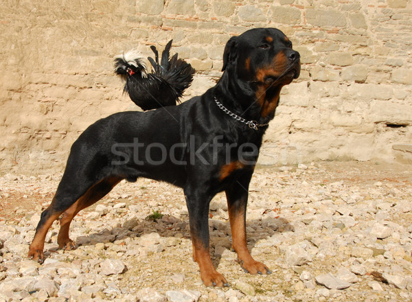 rottweiler and miniature rooster Stock photo © cynoclub