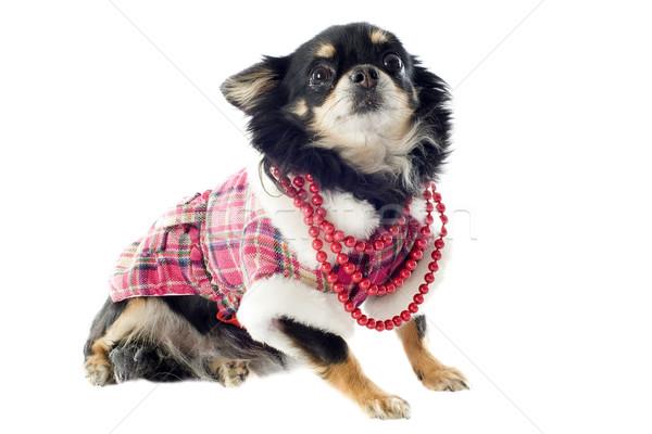dressed chihuahua Stock photo © cynoclub