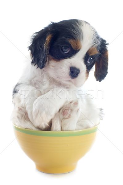 puppy cavalier king charles Stock photo © cynoclub