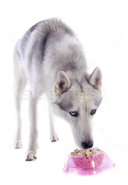 eating siberian husky Stock photo © cynoclub