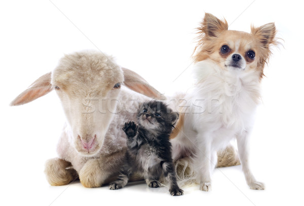 young lamb, kitten and chihuahua Stock photo © cynoclub