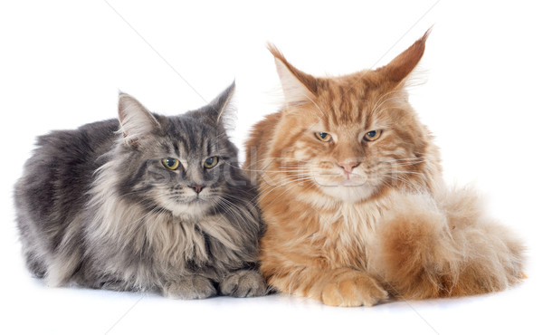 maine coon cats Stock photo © cynoclub