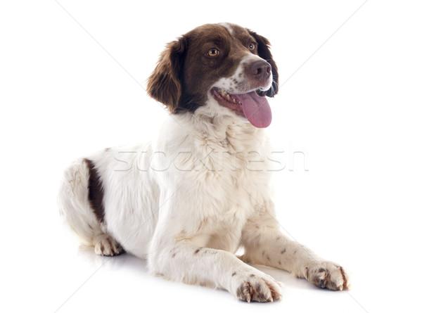 Сток-фото: французский · портрет · собака · студию · ПЭТ · белом · фоне