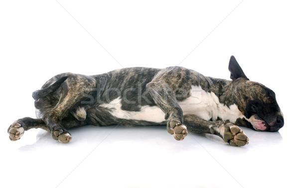 sleeping bull terrier Stock photo © cynoclub