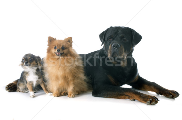 Rottweiler peu chiens blanche groupe Photo stock © cynoclub