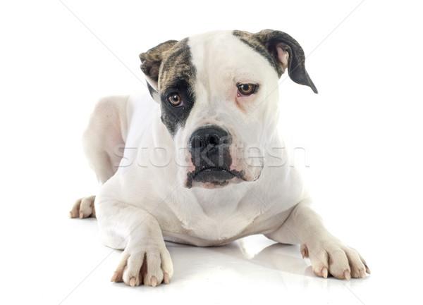 Amerikai bulldog portré fajtiszta fehér fiatal stúdió Stock fotó © cynoclub