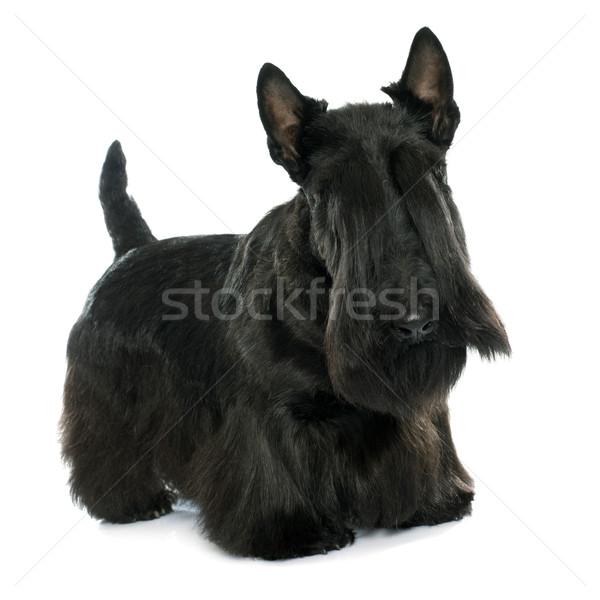 purebred scottish terrier Stock photo © cynoclub