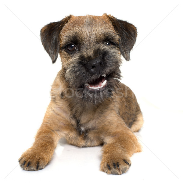 growling border terrier Stock photo © cynoclub
