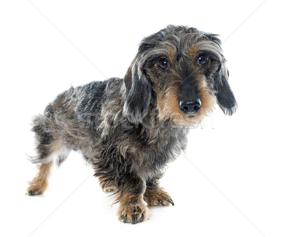 Wire haired dachshunds Stock photo © cynoclub