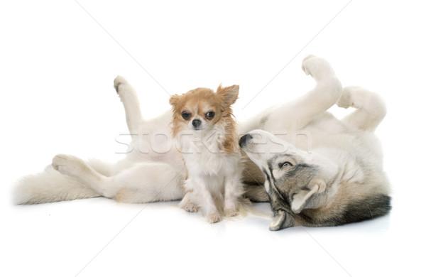 Grijs husky witte hond ogen Stockfoto © cynoclub
