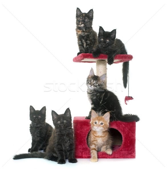 maine coon kitten on scratching post Stock photo © cynoclub