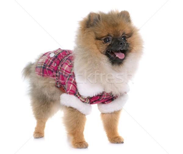 Stock photo: young pomeranian dog dressed