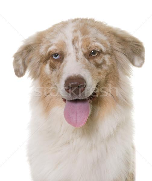 австралийский пастух студию белый собака голову Сток-фото © cynoclub