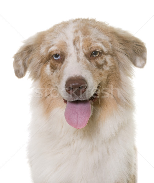 Australiano pastor estudio blanco perro cabeza Foto stock © cynoclub