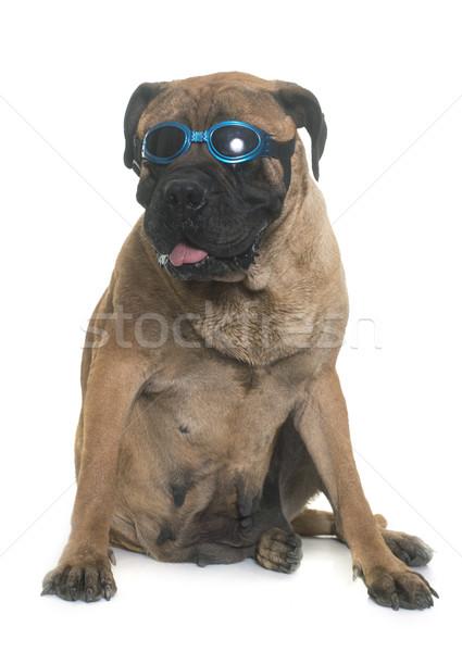 牛 マスチフ 眼鏡 白 犬 女性 ストックフォト © cynoclub