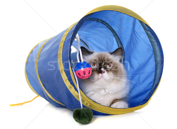 english longhair cat in tunnel Stock photo © cynoclub