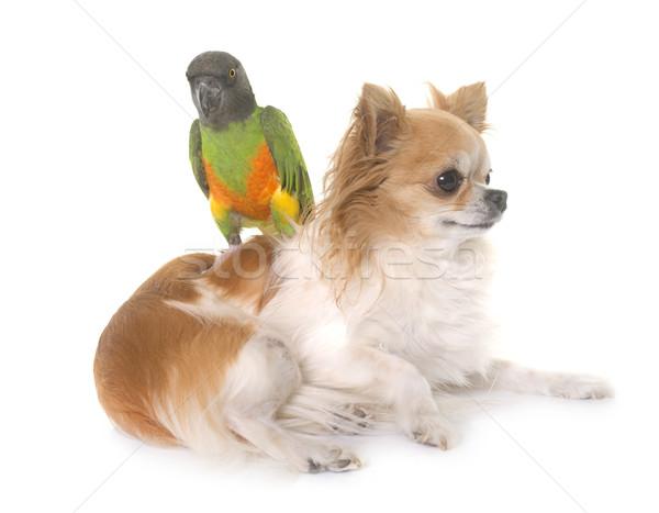 Senegal papagaio branco cão amigos pássaro Foto stock © cynoclub