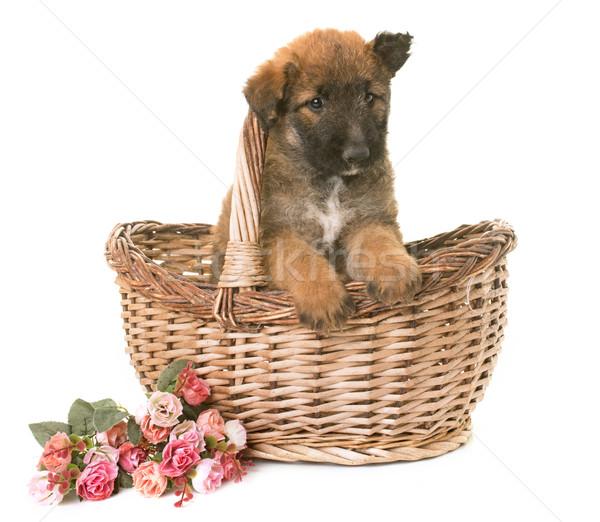 Cucciolo pastore belga cane animale basket studio Foto d'archivio © cynoclub