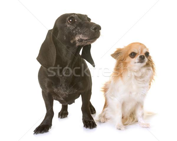 Eski siyah daksund köpek köpek yavrusu Stok fotoğraf © cynoclub