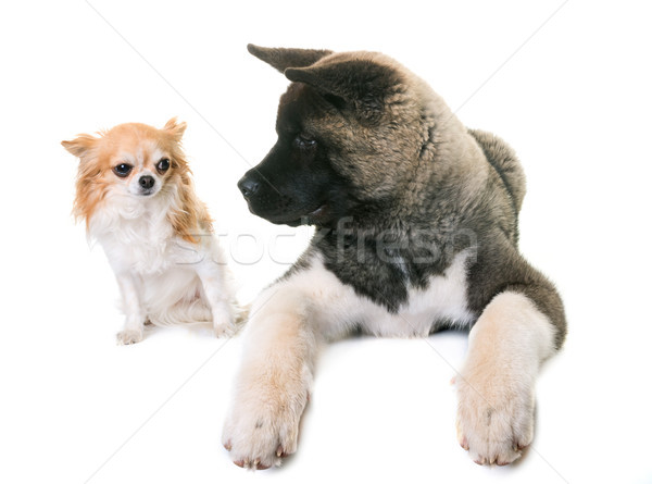 puppy american akita and chihuahua Stock photo © cynoclub