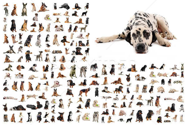 group of dogs and dalmatian Stock photo © cynoclub