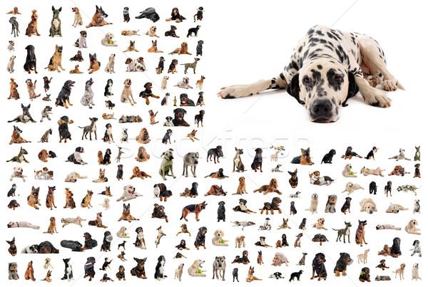 Grupo perros dálmata Foto Foto stock © cynoclub
