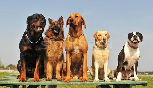 five big dogs Stock photo © cynoclub