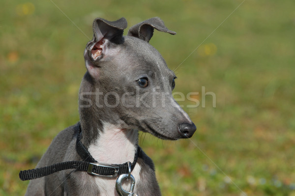 Cachorro italiano galgo retrato gris Foto stock © cynoclub