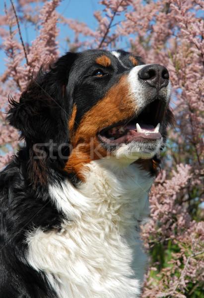 Młodych berneński pies pasterski szczęśliwy kwiat psa Zdjęcia stock © cynoclub