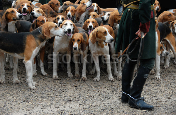 fox hunting Stock photo © cynoclub