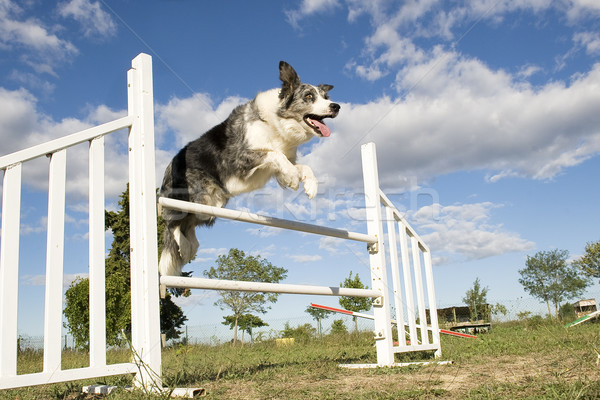 Sautant border collie ciel bleu sport bleu Photo stock © cynoclub