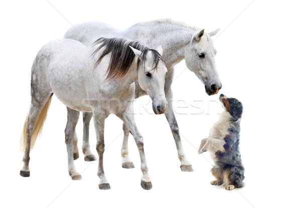 camargue horses and australian sheepdog Stock photo © cynoclub