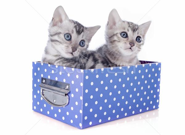 bengal kitten in box Stock photo © cynoclub