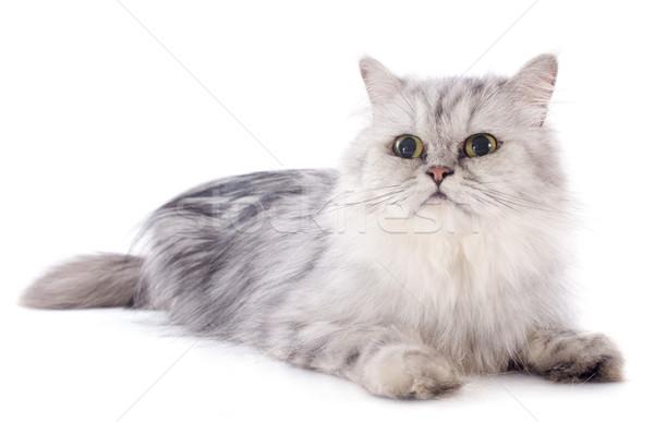 ペルシャ猫 白 赤ちゃん 猫 頭 女性 ストックフォト © cynoclub