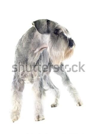 Standart schnauzer beyaz köpek genç stüdyo Stok fotoğraf © cynoclub