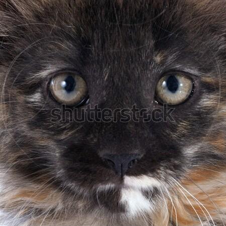 Sziámi macska gyönyörű fajtiszta fehér macska kék Stock fotó © cynoclub