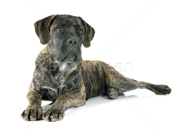 puppy cane corso Stock photo © cynoclub