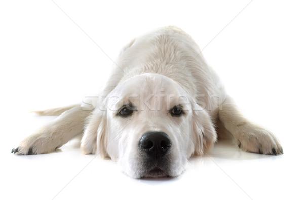 Genç Golden Retriever Beyaz Hayvan Köpek Yavrusu