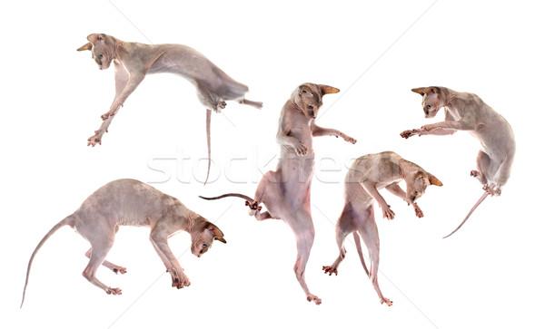 Jugando sin pelo gatos blanco ir Foto stock © cynoclub