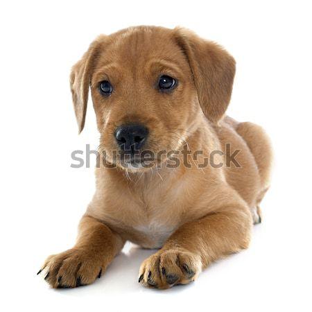 Cachorro labrador retriever blanco perro jóvenes animales Foto stock © cynoclub