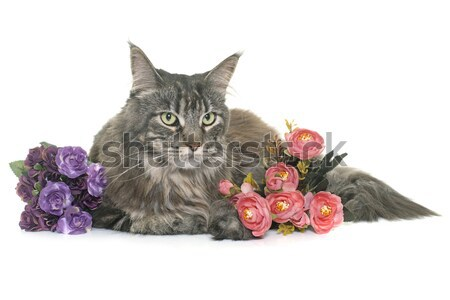 maine coon cat and rose Stock photo © cynoclub