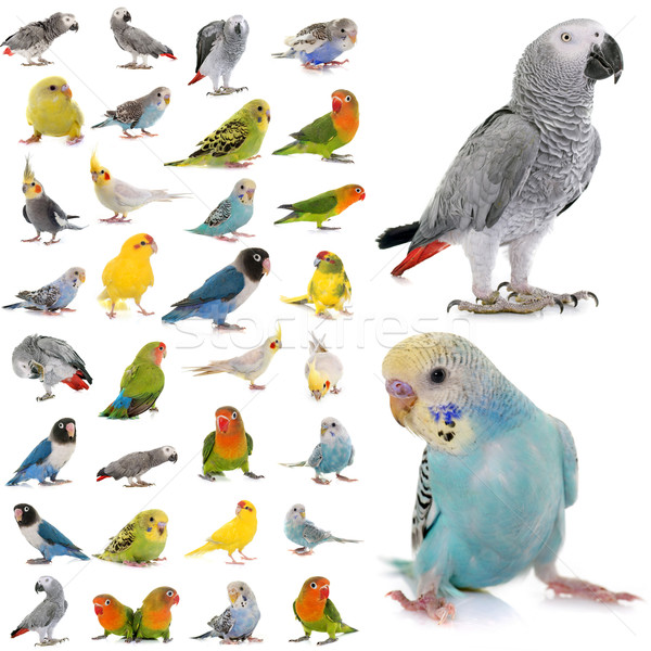 group of parakeets and parrots Stock photo © cynoclub