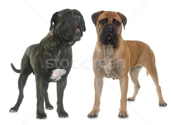 Touro estúdio cão casal feminino animal Foto stock © cynoclub