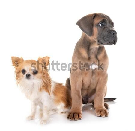 小さな 牛 マスチフ 動物 子犬 ペット ストックフォト © cynoclub
